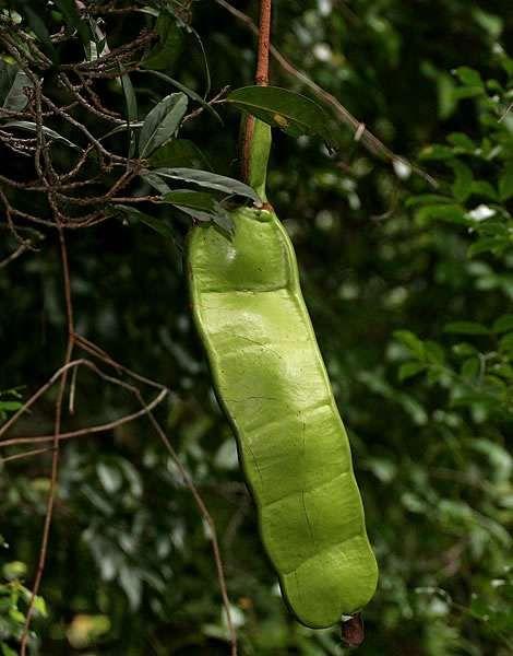 Entada Rheedii (Dream Bean) 2 seeds