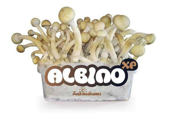 100% MYCELIUM Albino - Mushroom Growkit 1200cc
