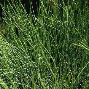 Ephedra sinica Ma-huang (20 zaden)