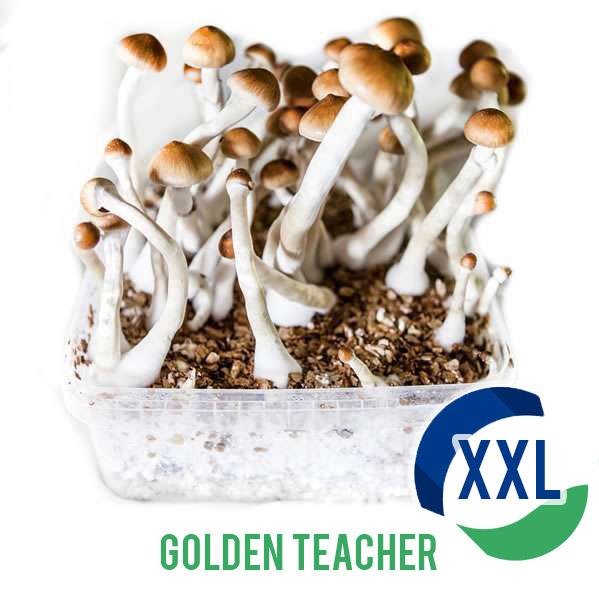 Kit de cultivo XL Golden Teacher (2100cc)