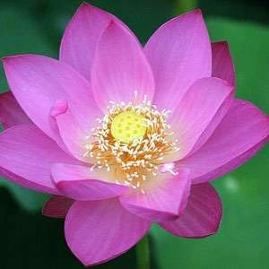 Nelumbo Nucifera (Pink Lotus) 5 Seeds