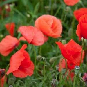 Papaver Rhoeas (Red Poppy) 20 Seeds
