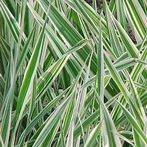 Phalaris Arundinacea (Reed Canary Grass) 20 Seeds