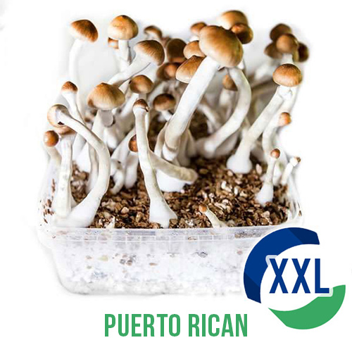 Puerto Rican XL Mycelium box (2100 ML)
