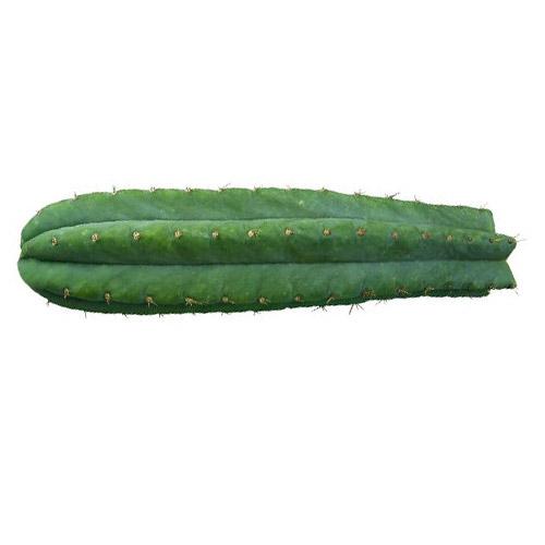 San Pedro - Trichocereus pachanoi