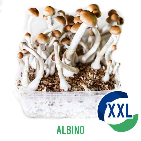 Albino XL- 2100cc Paddo kweekset