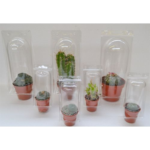 Peyote cactus 3 - 4 cm   Lophophora Williamsii