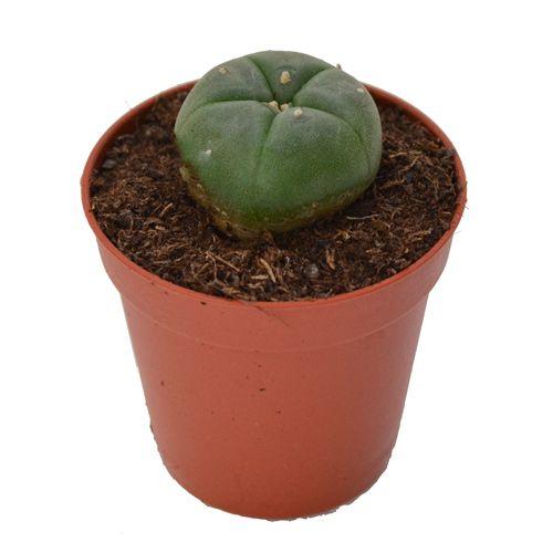 Peyote cactus 2 - 3  cm   Lophophora Williamsii